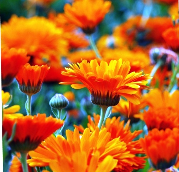 Calendula is a miracle healer.