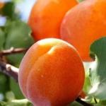 Apricot Diet