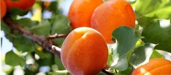 Apricot Diet.