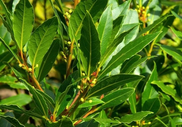Healing oil from the laurel.