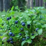 Blueberries will prevent cirrhosis of the liver.