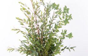 Eucalyptus with stomatitis.